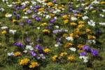 Thumbnail colourful flowering crocus meadow in spring - dutch crocusses Crocus vernus