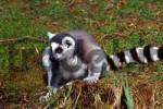 Thumbnail Ring tailed lemur