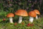 Thumbnail Red-capped scaber stalk (Leccinum aurantiacum, Leccinum rufum), edible mushrooms
