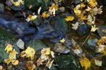 Thumbnail Maple leaves (Aceraceae) in a creek in Wutachschlucht ravine in the Black Forest, Baden-Wuerttemberg, Germany, Europe