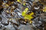 Thumbnail Maple leaves (Aceraceae) lying on rocks in a creek in Wutachschlucht ravine in the Black Forest, Baden-Wuerttemberg, Germany, Europe