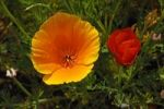 Thumbnail Flowering Iceland poppies (Papaver nudicaule) with rain drops