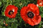 Thumbnail Red poppies, Oriental poppy (Papaver orientale) with rain drops