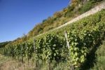 Thumbnail Vines, vineyards, wine-growing area on Drachenfels mountain, Siebengebirge range, Bad Honnef, North Rhine-Westphalia, Germany, Europe