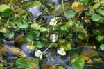 Thumbnail Aquatic plant Luronium natan
