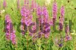 Thumbnail Purple loosestrife Lythrum salicaria