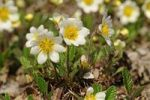 Thumbnail White Avens or dryas (Dryas octopetala), Northern Europe