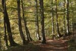 Thumbnail Forest trail, autumnal mountain forest near Wildbad-Kreuth, Tegernsee Valley, Upper Bavaria, Bavaria, Germany, Europe, PublicGround