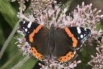 Thumbnail Red Admiral (Vanessa atalanta) feeding on nectar of snakeroots, Untergroeningen, Baden-Wuerttemberg, Germany, Europe