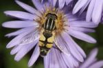 Thumbnail European hoverfly (Helophilus trivittatus), feeding on Autumn aster (Aster sp.), Untergroeningen, Baden-Wuerttemberg, Germany, Europe