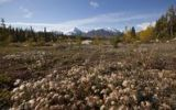 Thumbnail Cotton grass at Quill Creek, autumn, fall colours, Indian summer, St. Elias Mountains, Kluane National Park and Reserve behind, Yukon Territory, Canada