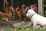 Thumbnail Golden Retriever puppy watching chickens in a coop, Adendorf, Lower Saxony, Germany, Europe
