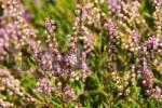 Thumbnail heather Calluna vulgaris