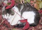 Thumbnail Domestic cat asleep amidst autumn-coloured leaves, Riga, Latvia, Europe