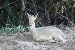 Thumbnail Kirk's Dik-dik (Madoqua Kirki), an African dwarf antelope, Lake Manyara National Park, Tanzania, Africa