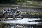 Thumbnail Burchell's Zebra (Equus quagga), drinking from a waterhole, Lake Manyara National Park, Tanzania, Africa