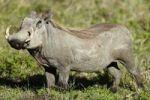 Thumbnail Warthog (Phacochoerus africanus), Ngorongoro Crater, Ngorongoro Conservation Area, Tanzania, Africa