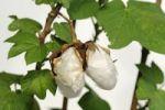 Thumbnail Ripe fruit capsules of the cotton plant (Gossypium herbaceum)