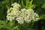 Thumbnail Sweet Cicely (Myrrhis odorata), Europe
