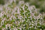 Thumbnail Creeping Thyme (Thymus serpyllum), Europe