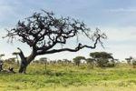 Thumbnail Serengeti landscape, Tanzania, Africa