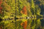 Thumbnail Maple tree and pine trees in autumn, West Bolton, Quebec, Canada