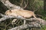 Thumbnail Lioness (Panthera leo) in a tree, Serengeti, Tanzania, Africa