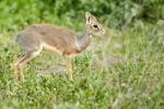 Thumbnail Kirk's Dik-dik (Madoqua Kirki), African dwarf antelope, Serengeti, Tanzania, Africa