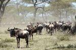 Thumbnail Herd of Wildebeest (Connochaetes taurinus), Serengeti, Tanzania, Africa