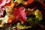 Thumbnail Autumn-coloured leaves of various deciduous trees