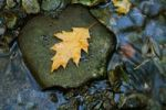 Thumbnail Autumn leaves in a stream