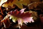 Thumbnail Dry autumn leaves