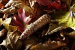 Thumbnail Cone of a Spruce (Picea) amidst autumn leaves