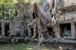 Thumbnail Tree roots, Tetrameles tree (Tetrameles nudiflora), its air roots covering part of the Ta Prohm temple in the archaeological temple complex of Angkor, Siem Reap, Cambodia, Southeast Asia