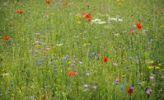 Thumbnail Summer meadow, Cornflower (Centaurea cyanus), Yarrow (Achillea), Mallow (Malva), Yellow Daisies (Leucanthemum), Poppy (Papaver rhoeas)