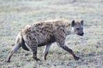 Thumbnail Spotted Hyena or Laughing Hyena (Crocuta crocuta), Serengeti, Tanzania, Africa