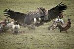 Thumbnail Lappet-faced Vultures (Aegypius tracheliotus, Torgos tracheliotus), Serengeti, Tanzania, Africa