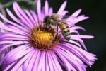 Thumbnail Honey Bee (Apis mellifera) on an Alpine aster (Aster alpinus)