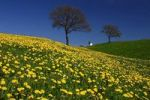 Thumbnail Rolling hills with dandelions