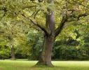 Thumbnail Pedunculate oak, English oak (Quercus robur) in a park