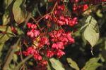 Thumbnail European spindle or Common spindle (Euonymus europaeus)