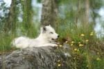 Thumbnail Arctic fox (Alopex lagopus), Norway, Scandinavia, Europe
