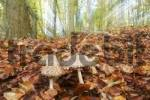 Thumbnail Mushroom Lepiota procera in a autumnal colored beech forest, zoom during the exposure time