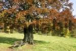 Thumbnail Solitaire standing beech Fagus silvatica on a meadow with bench
