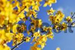 Thumbnail Forsythia Forsythia x intermedia