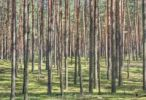 Thumbnail Forest in Cepkeliu National Nature Reserve, Lithuania, Europe