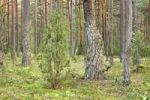 Thumbnail Forest near Roduka in Dzukijos National Park, Lithuania, Europe