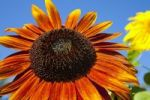 Thumbnail Orange Sunflower (Helianthus annuus), Adamsville, Quebec, Canada