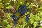 Thumbnail Ste-Croix grapes, Sutton, Quebec, Canada