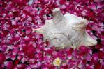 Thumbnail Shell and rose petals, Boutique-Hotel House of MG, India, Asia